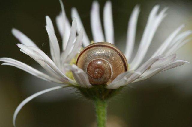 NABU Bremen Schnecke, Cepaea hortenis