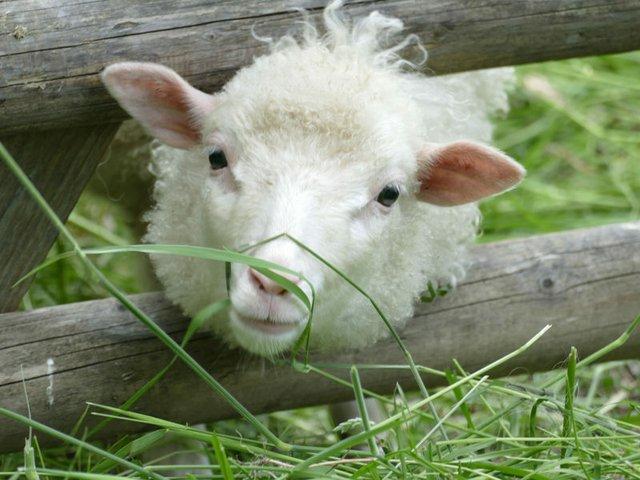 Dorfherbst - neugieriges Schaf