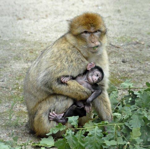 Ostrittrum-Affenbaby.jpg