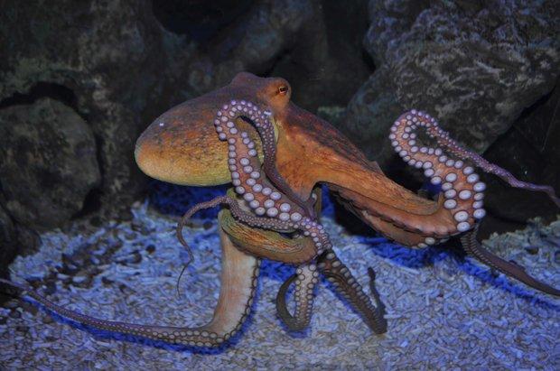 Oktopus im Nordsee-Aquarium
