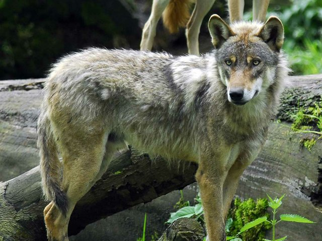 (c)Wolfcenter-Dörverden.jpg