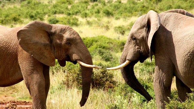 148 Elefantenkampf stehen sich gegenueber Suedafrika Der Kinofilm.jpg