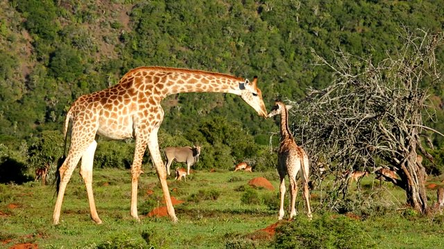 179 Kariega Game Reserve Giraffe schnuppert an Baby Suedafrika Der Kinofilm.jpg