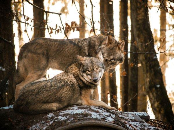 Nacht des Wolfes, Wildpark Schwarze Berge
