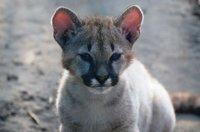 K640_zoo(c)Tierpark Stroehen_Pumababy.JPG