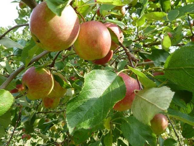 Rund um den Apfel