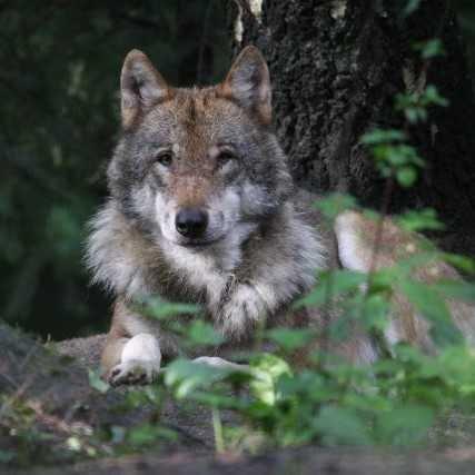 Tag der Wölfe