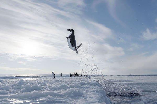 Antarctica_Springender_Adeliepinguin_c_Vincent_Munier_.jpg