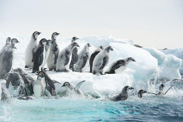 Antarctica_junge_Kaiserpinguine_stuerzen_ins_Wasser__c__Vincent_Munier.jpg