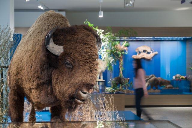 Amerika Bereich Einwanderung Bison (c) Übersee-Museum Bremen Foto Matthias Haase.jpg